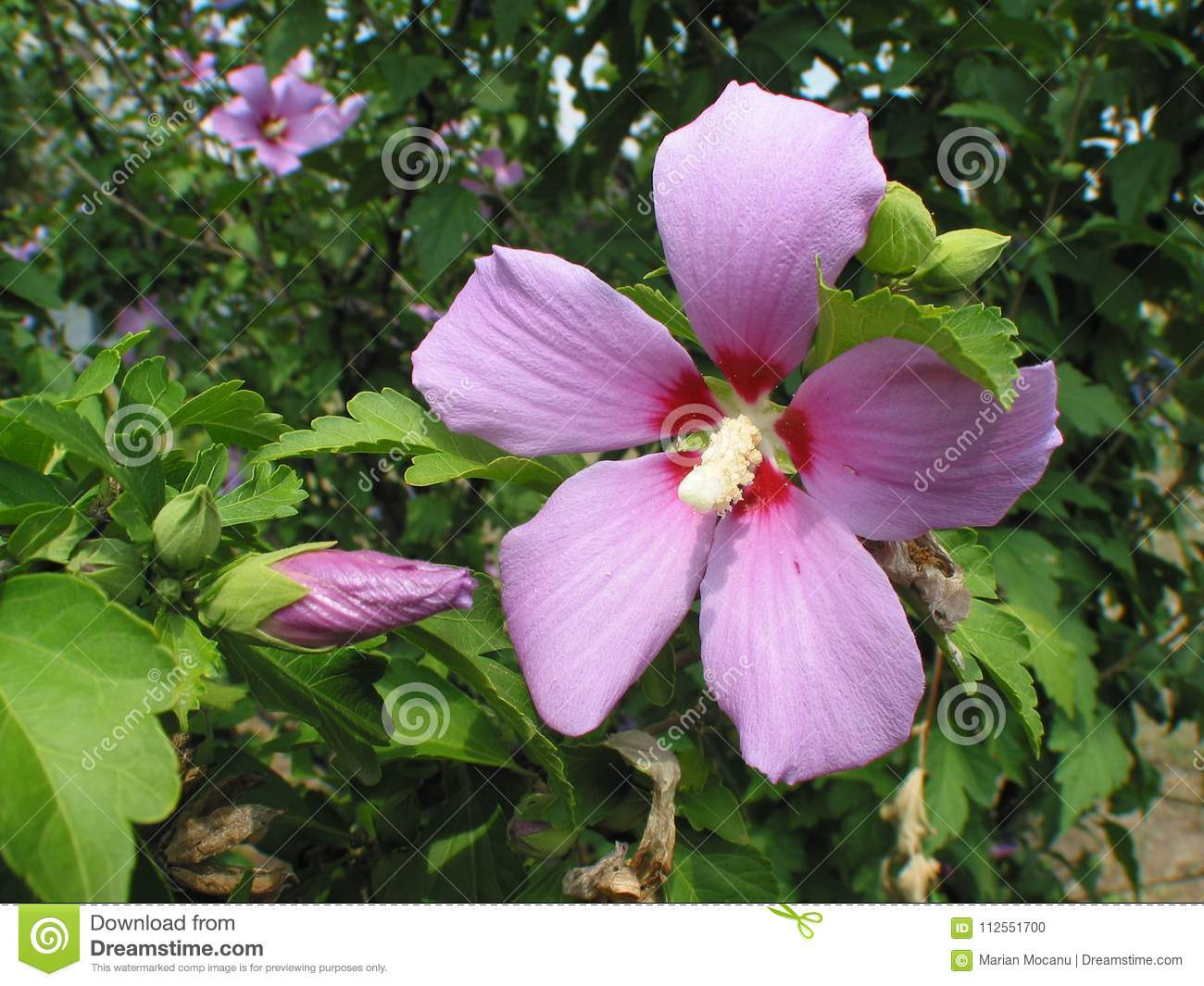 Hibiscus Syriacus Or Rose Of Sharon Stock Photo Image Of Flower