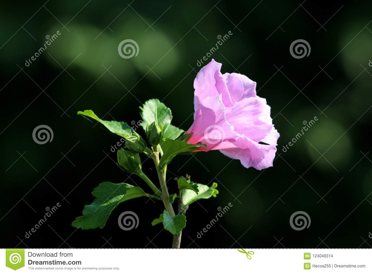 Hibiscus Syriacus Or Rose Of Sharon Trumpet Shaped Single Flower