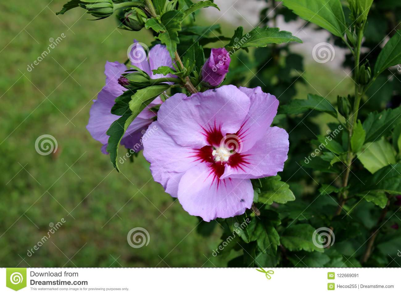 Hibiscus Syriacus Or Rose Of Sharon Flowering Plant With Blooming