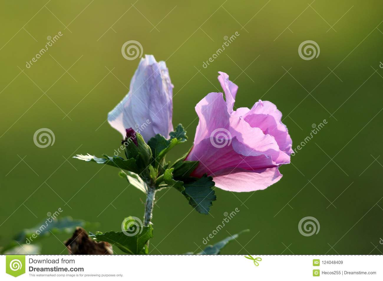 Hibiscus Syriacus Or Rose Of Sharon Trumpet Shaped Flower And Flower