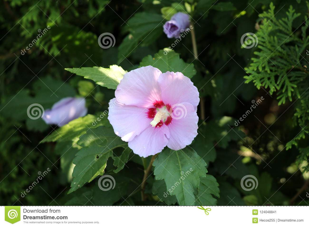 Hibiscus Syriacus Or Rose Of Sharon Trumpet Shaped Flower On Dark