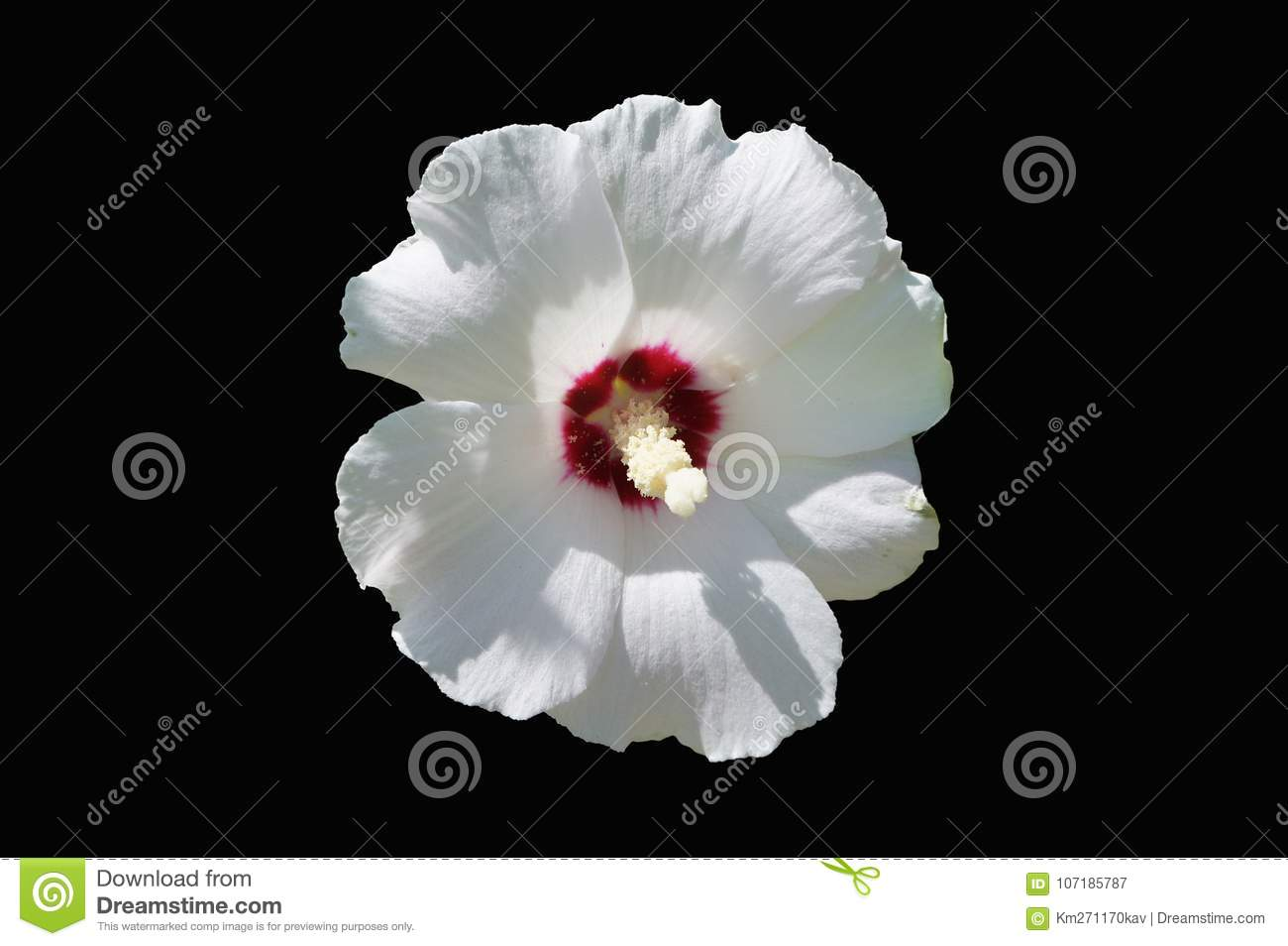 Hibiscus Syriacus White Rose Of Sharon Red Heart Flower Stock