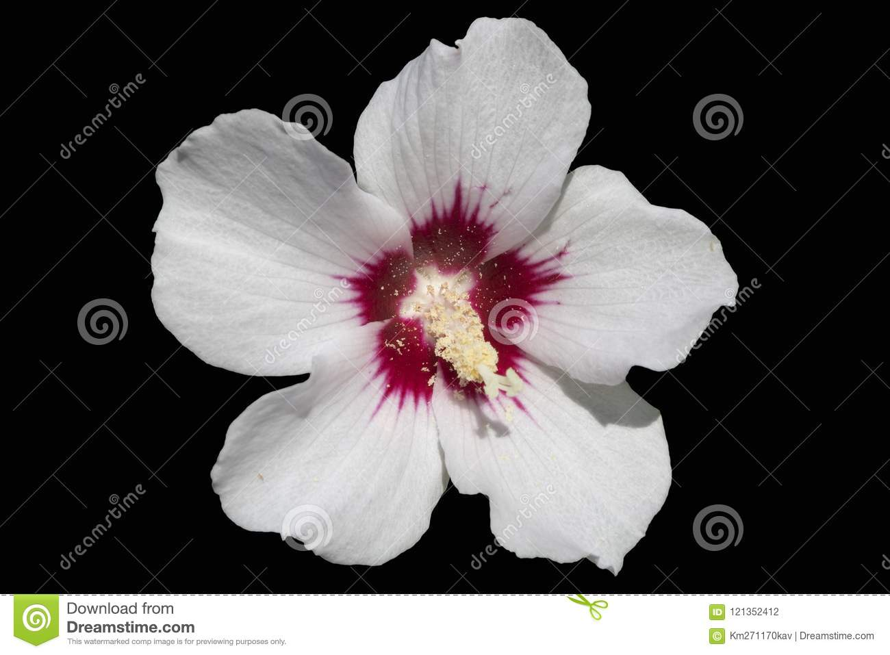 Hibiscus Syriacus White Rose Of Sharon Red Heart Isolated On B