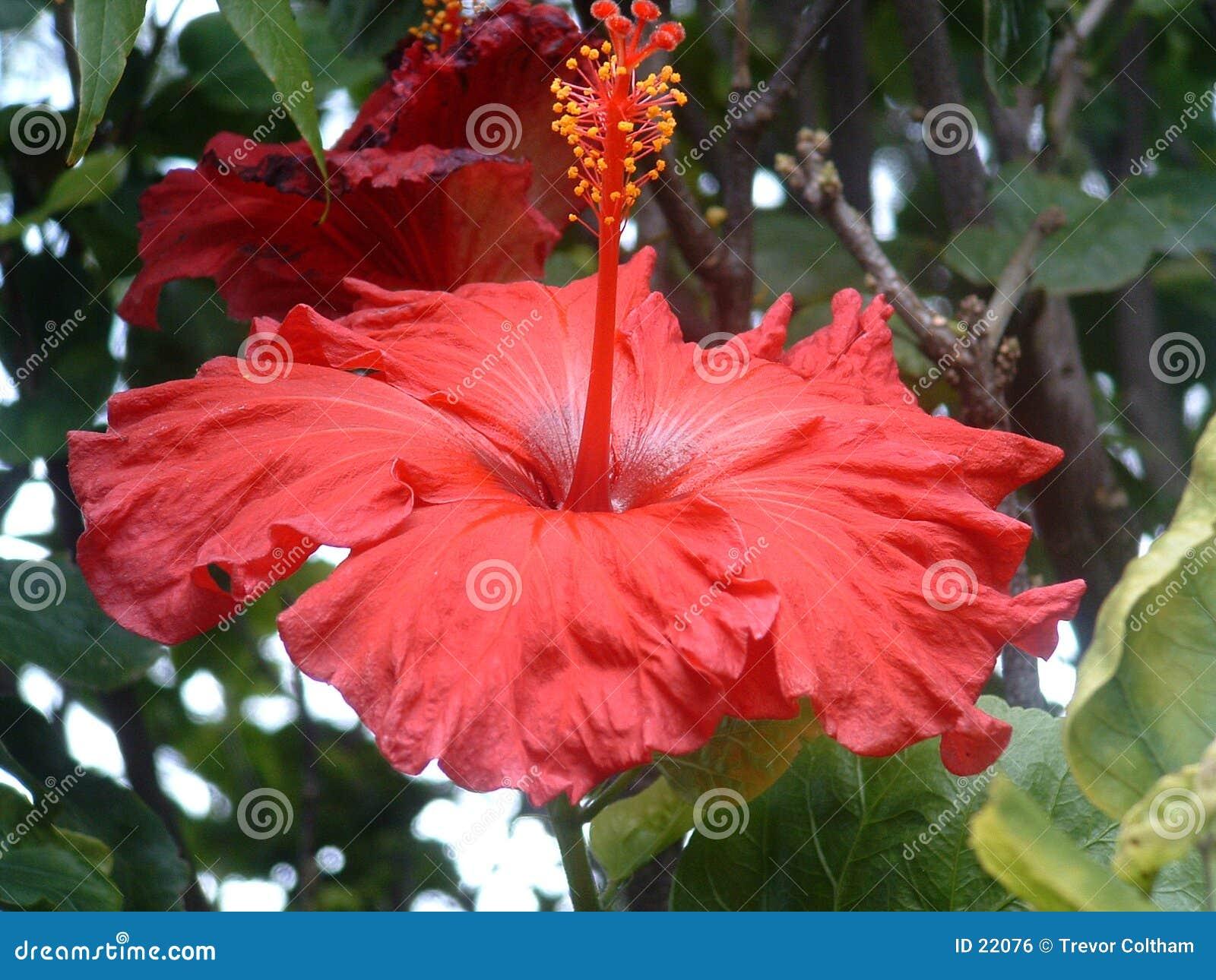 Hibiscus vermelho