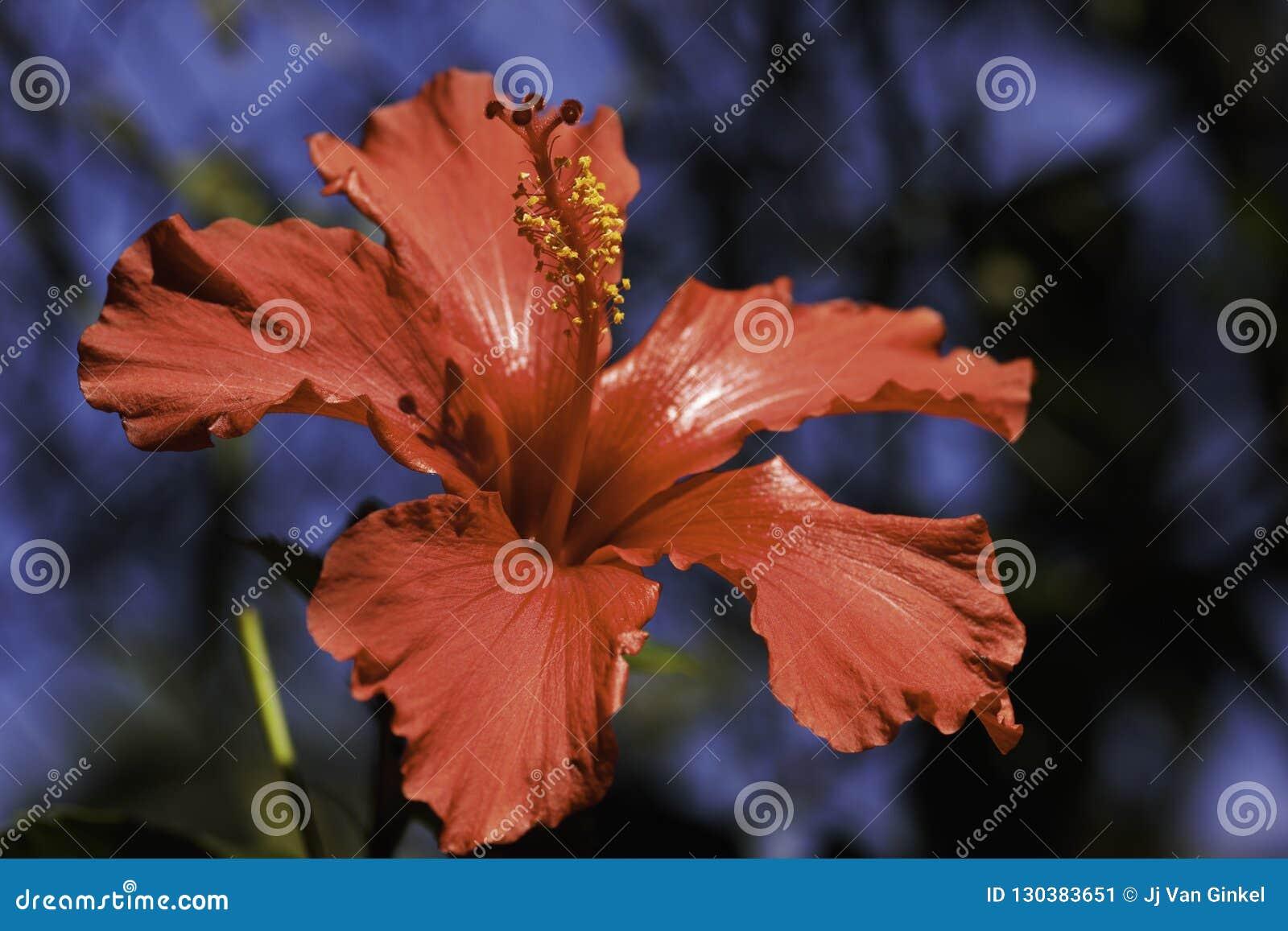 Hibiscus vermelho rosa-sinensis da flor do hibiscus da flor completa