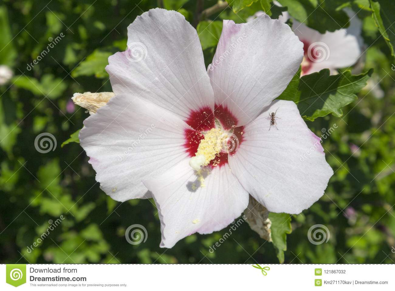Hibiscus White Rose Of Sharon Red Heart Flower Stock Vector