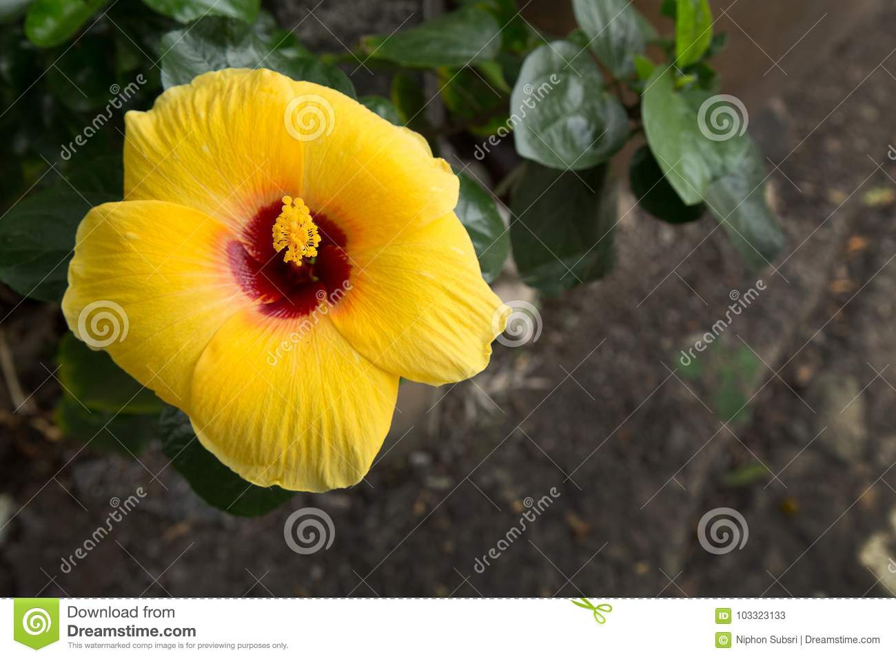 The Hibiscus Yellow Flower Close Up Image Stock Image Image Of