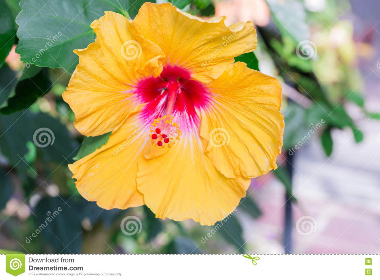 Hibiscus Yellow Flower In Flower Garden Stock Image Image Of