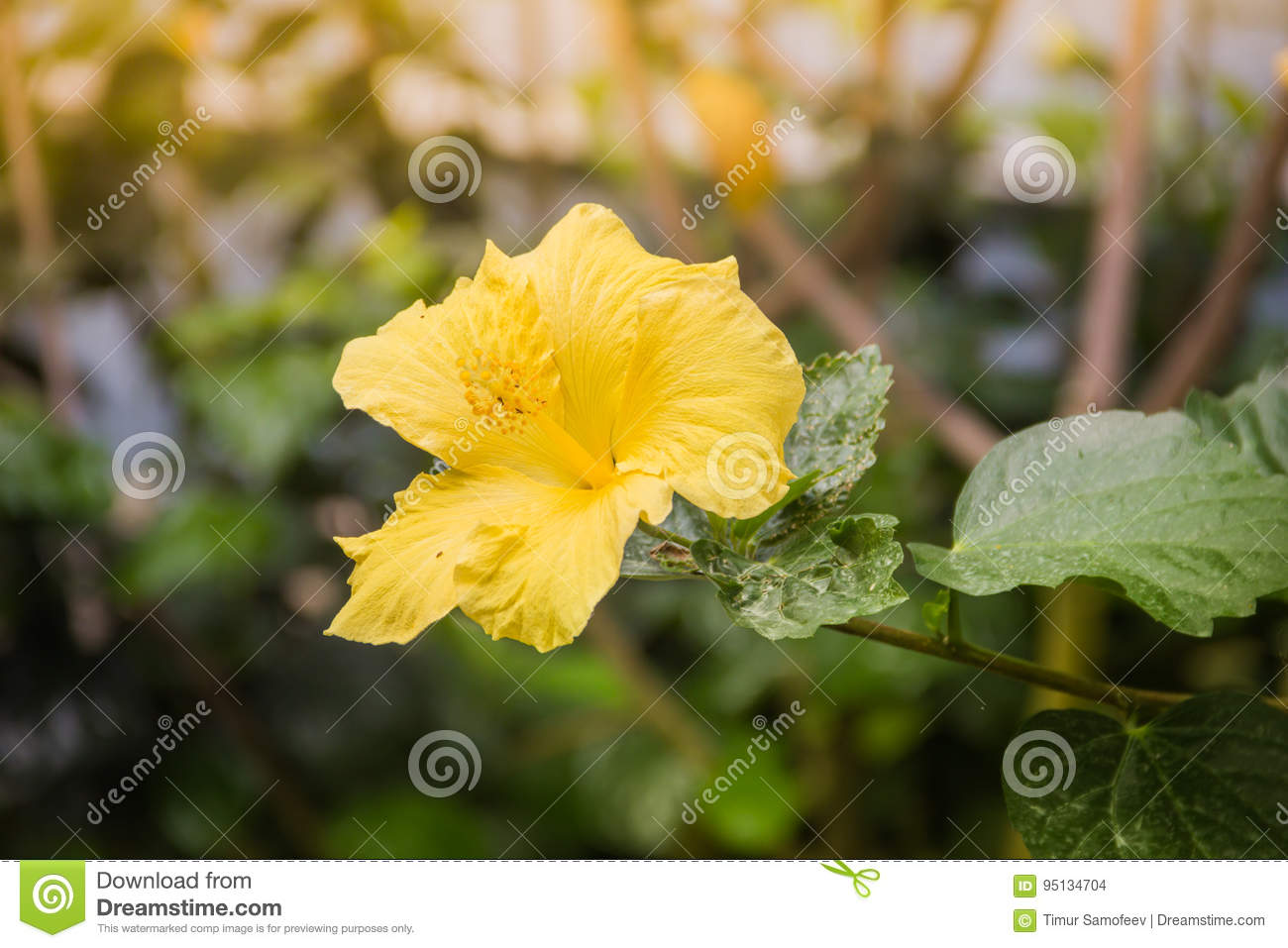 Hibiscus Yellow Flower Purple Leaves Stock Photo Image Of Leaves