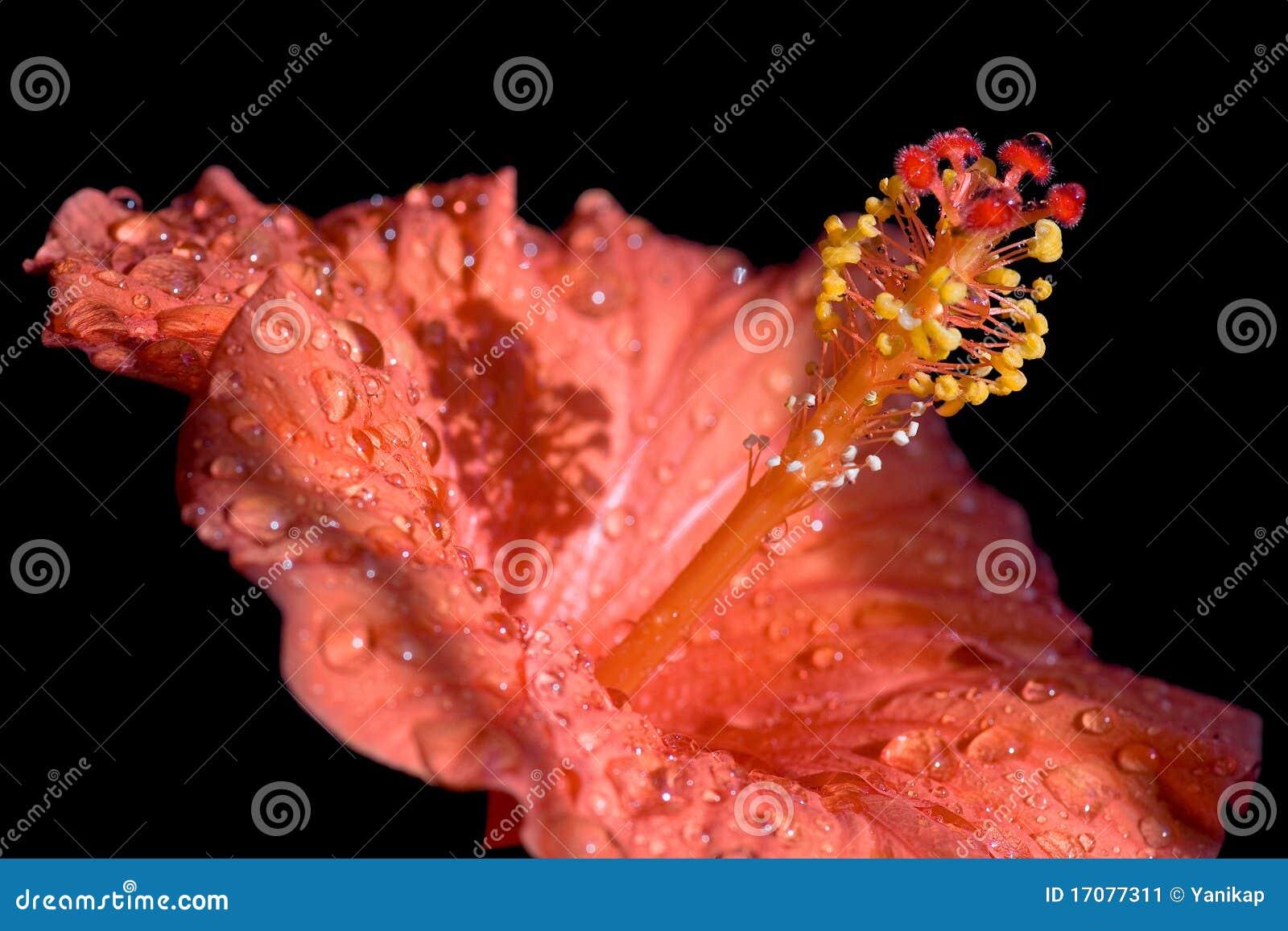 Hibiscusblume