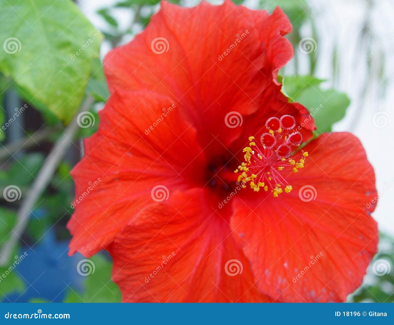 Hibiskus bloeit 1