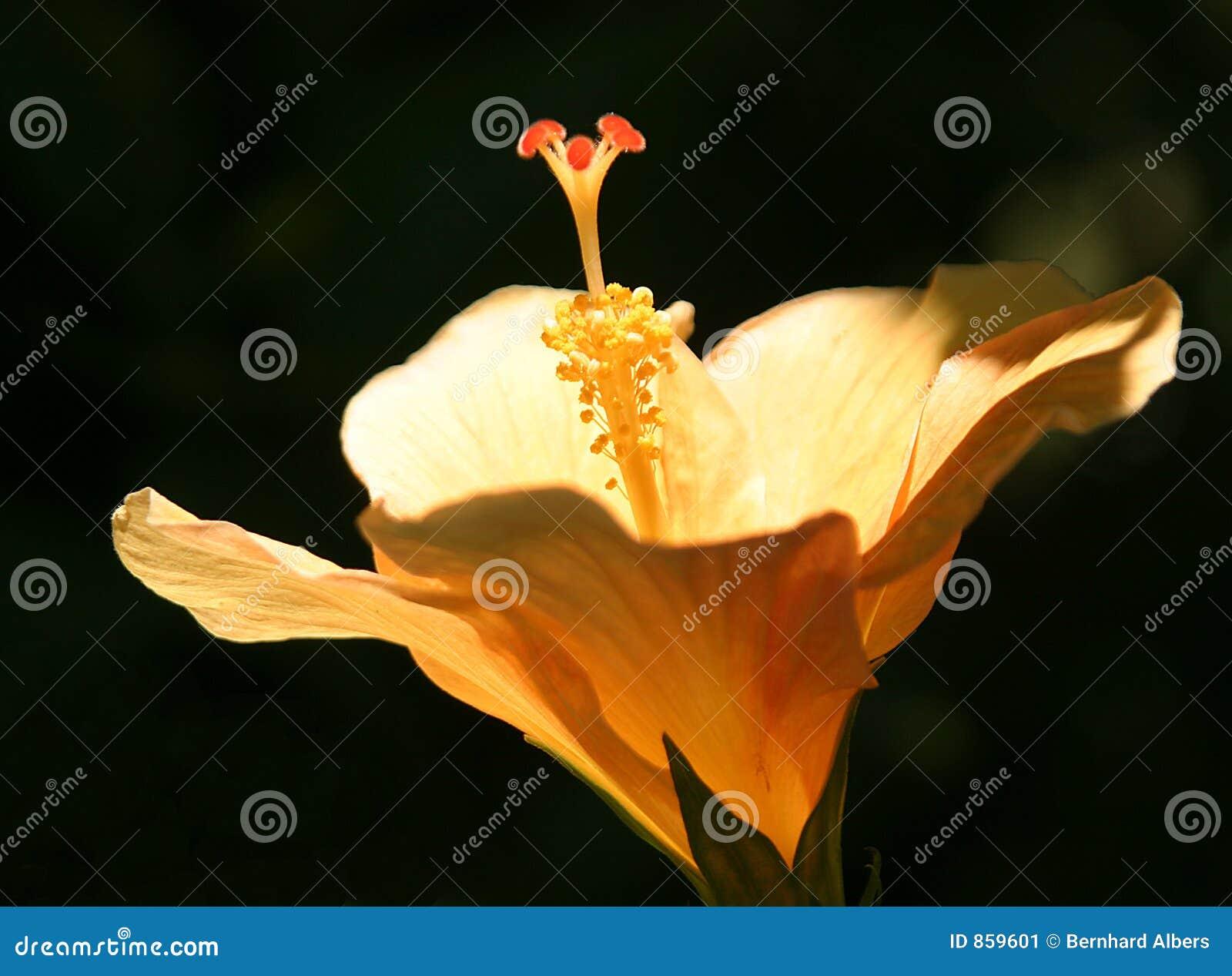 Hibiskus-flor
