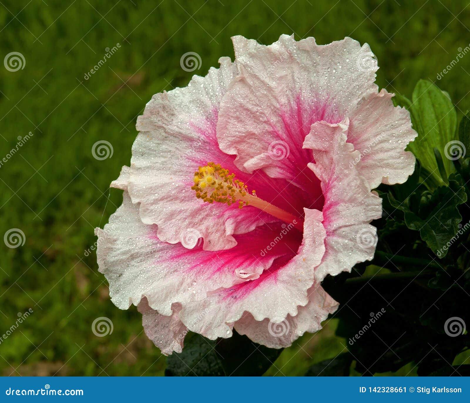 Hibiskus Hawaiirose Rosa Adonicus