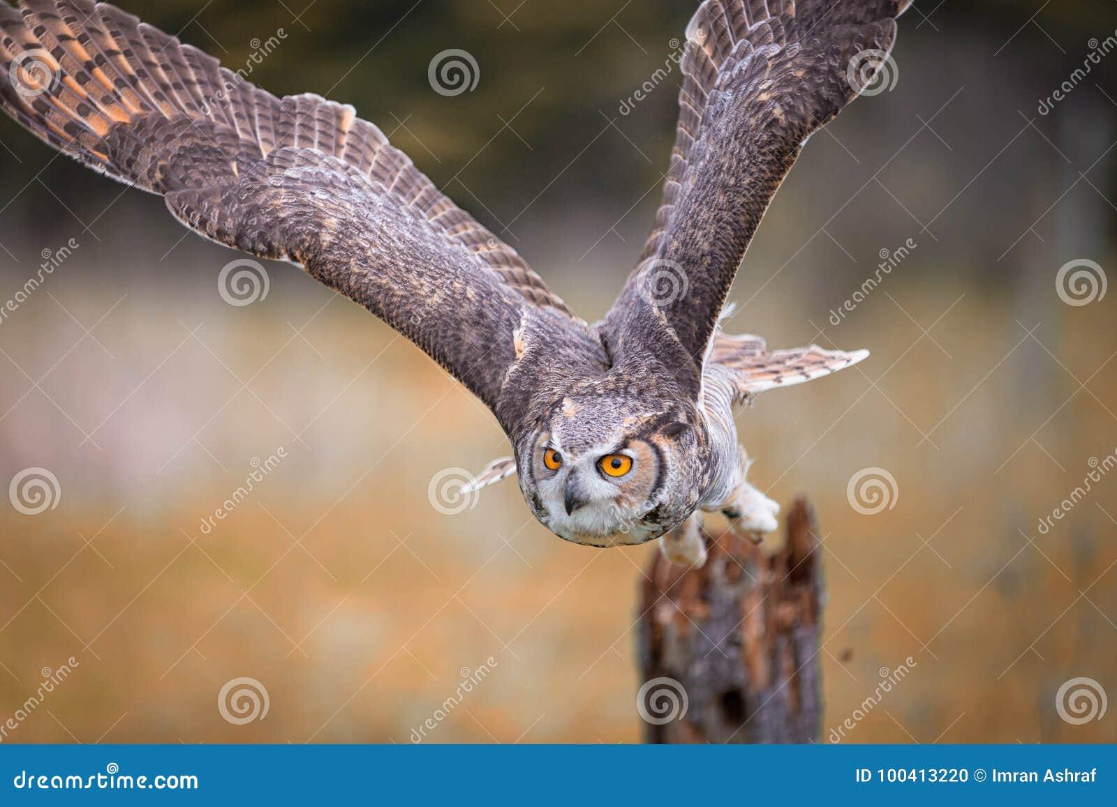 Hibou à cornes gris
