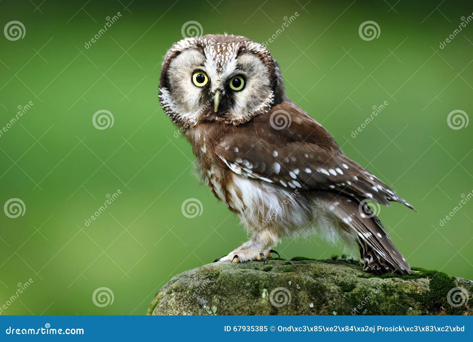 Hibou boréal de petit oiseau, funereus d Aegolius, se reposant sur la pierre de mélèze avec le fond vert clair de forêt