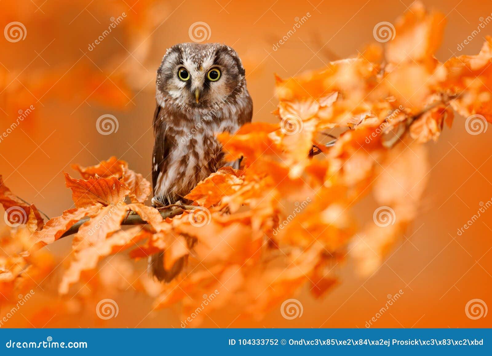 Hibou caché dans les feuilles oranges Oiseau avec de grands yeux jaunes Oiseau d automne Hibou boréal dans la forêt orange d auto
