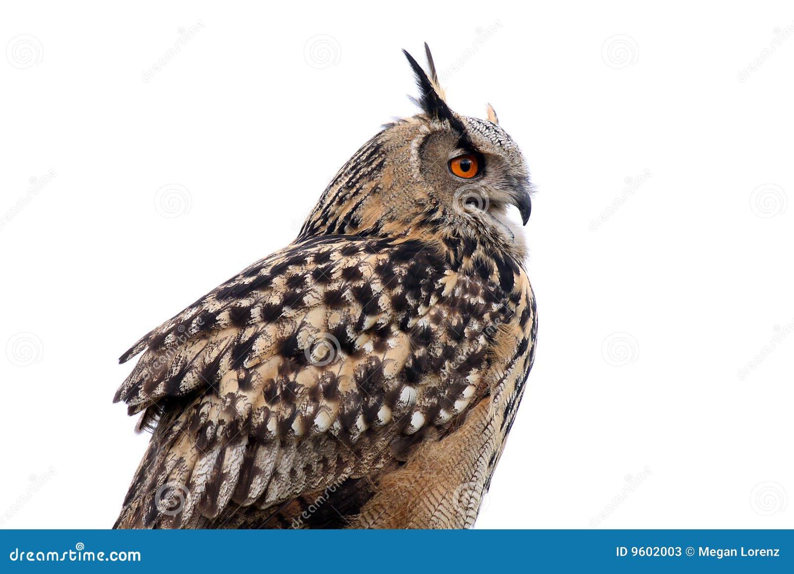 Hibou de faucon