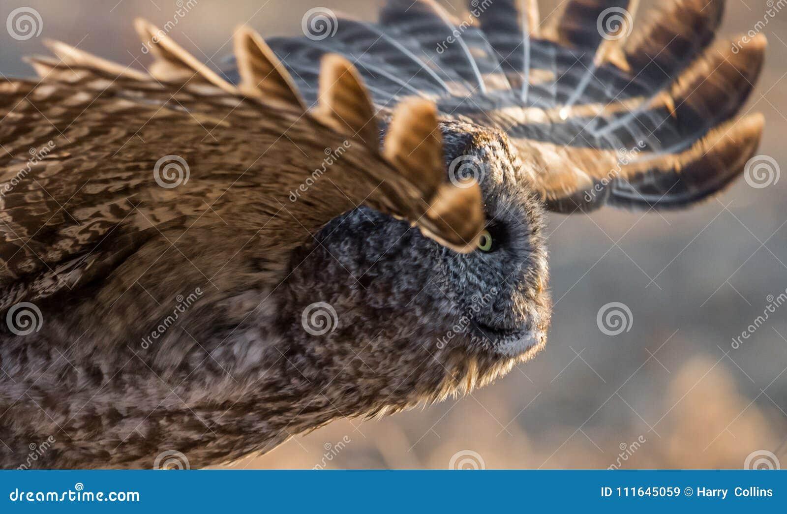Hibou de gris grand