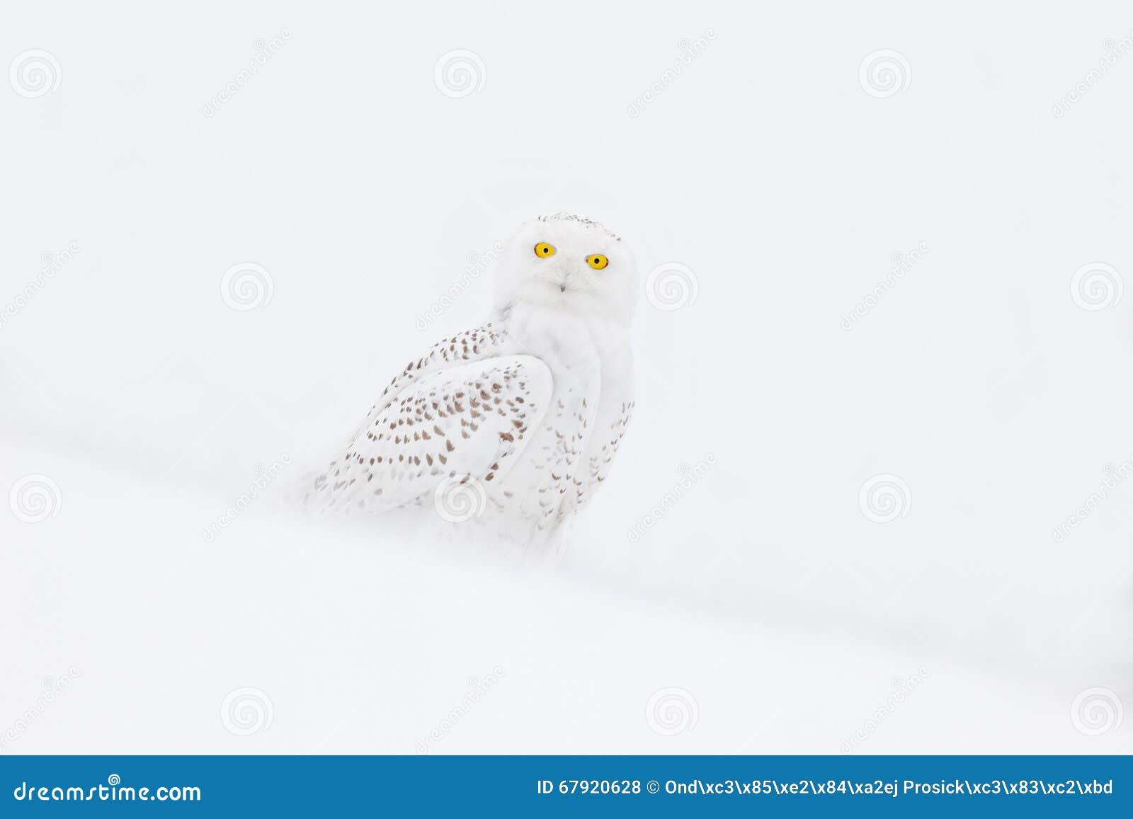 Hibou de Milou, scandiaca de Nyctea, oiseau rare se reposant sur la neige, scène d hiver avec des flocons de neige en vent