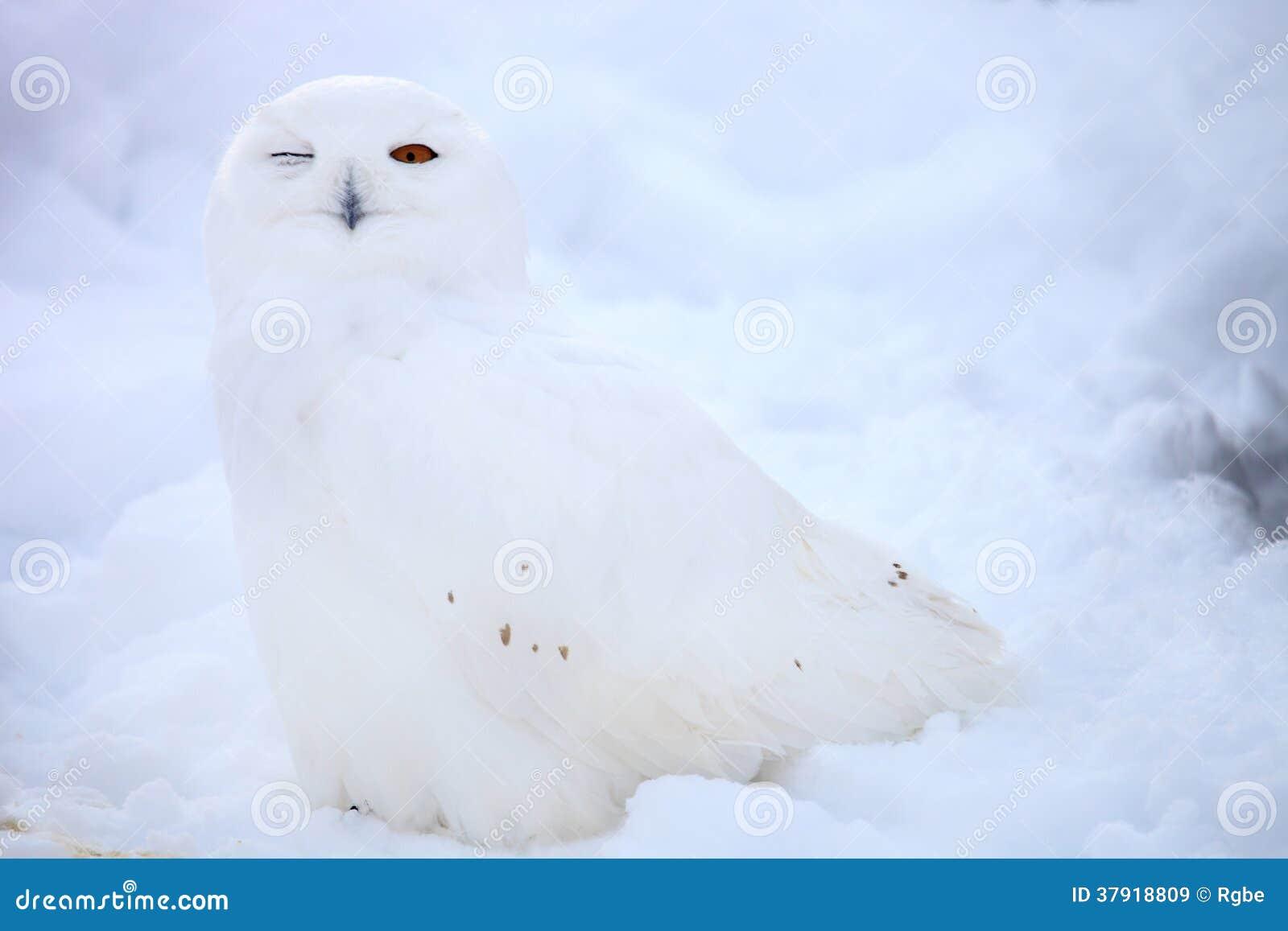 Hibou de neige
