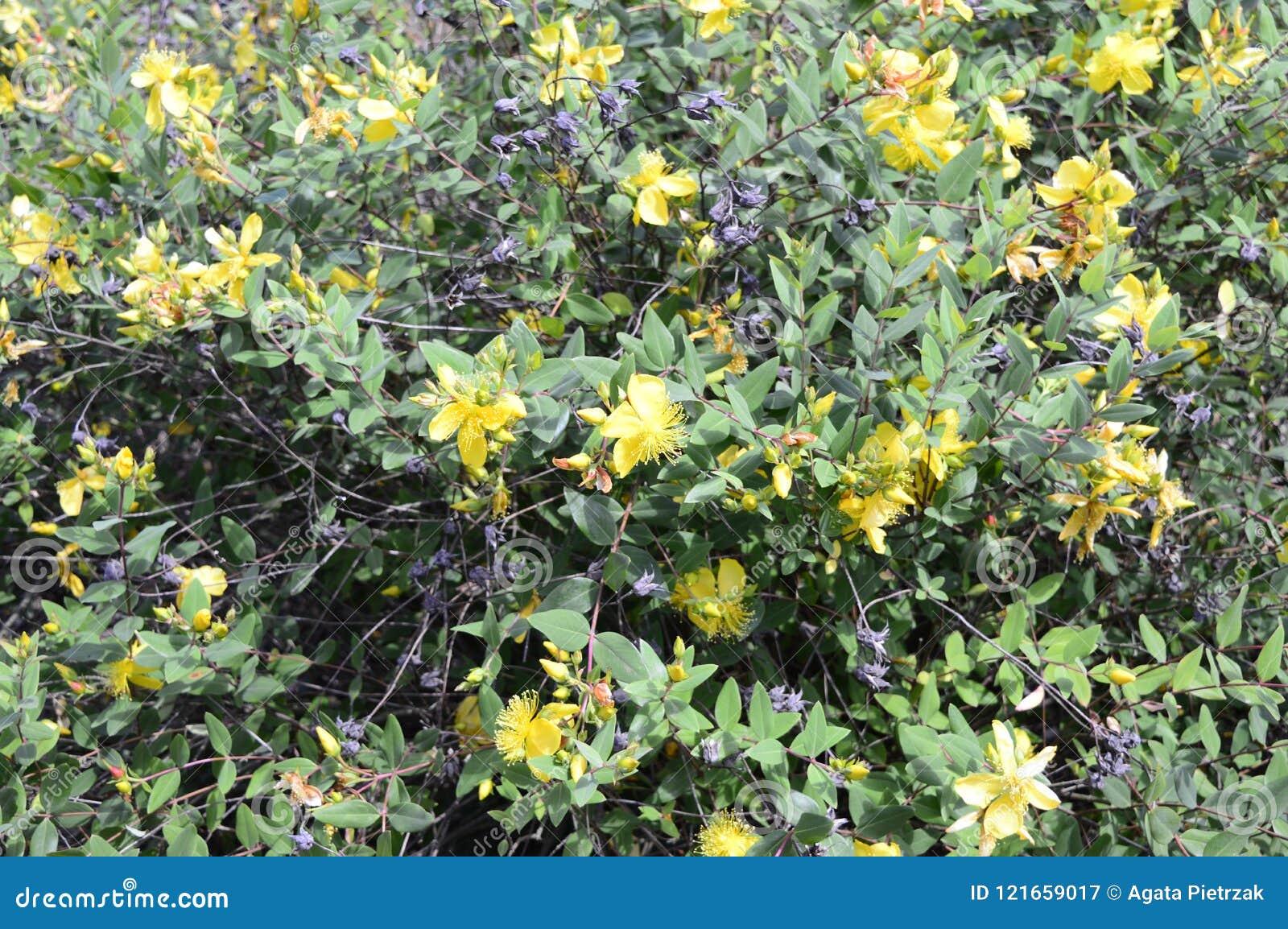 Cespugli Sempreverdi Con Fiori hidcote di iperico - piccolo cespuglio sempreverde immagine