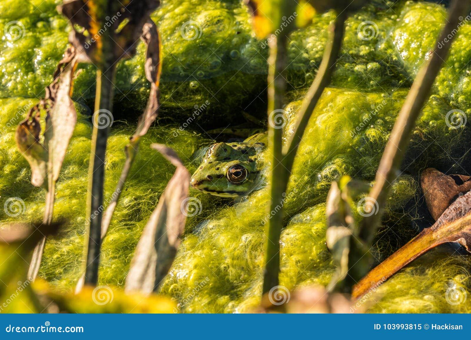 Hidden frog in the lake