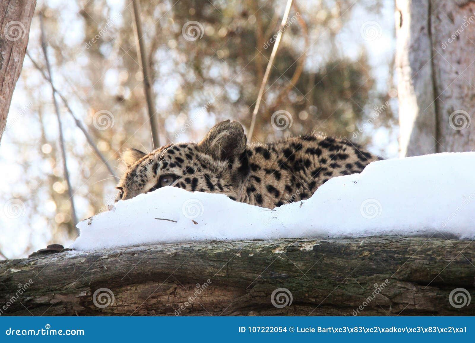 Hidden Leopard Stock Photo Image Of Mammal Cute Carnivore