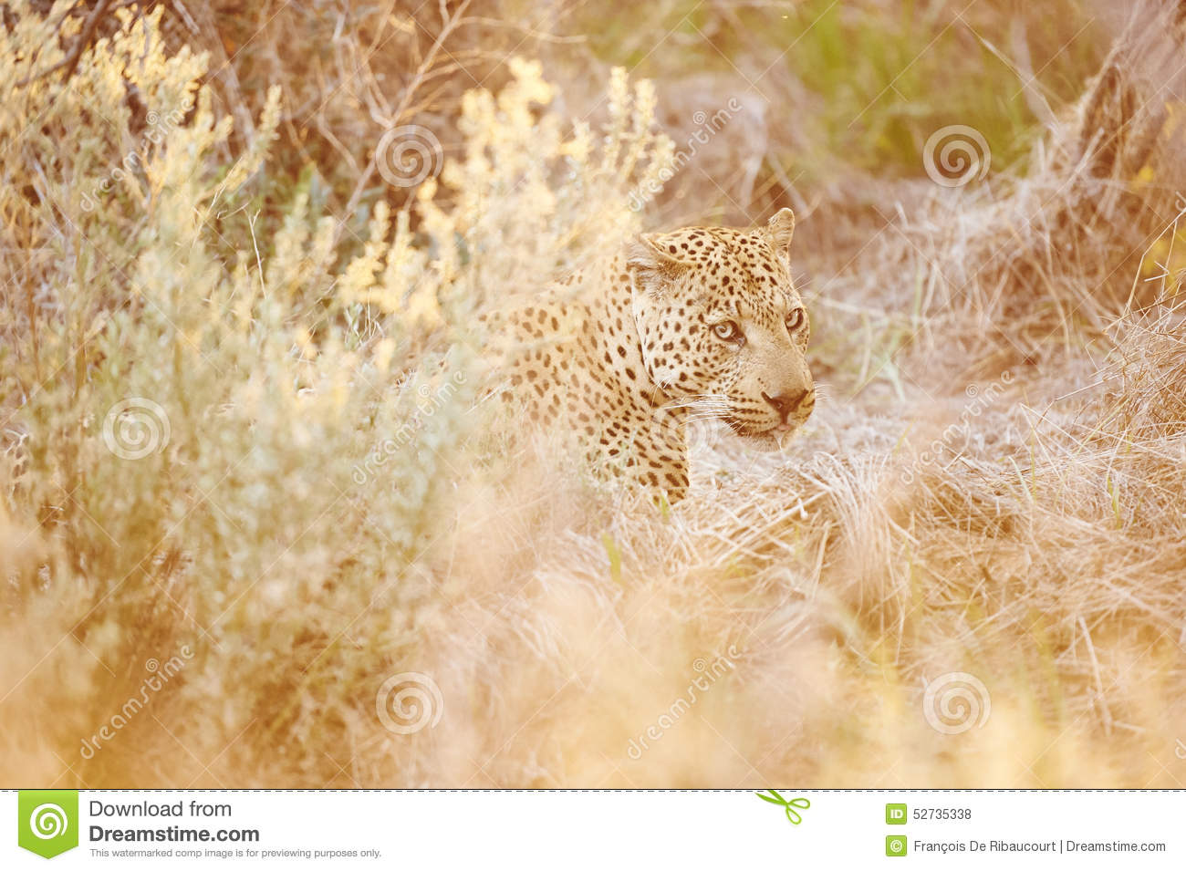 Hidden Leopard Stock Photo Image Of Mimetism Natural 52735338