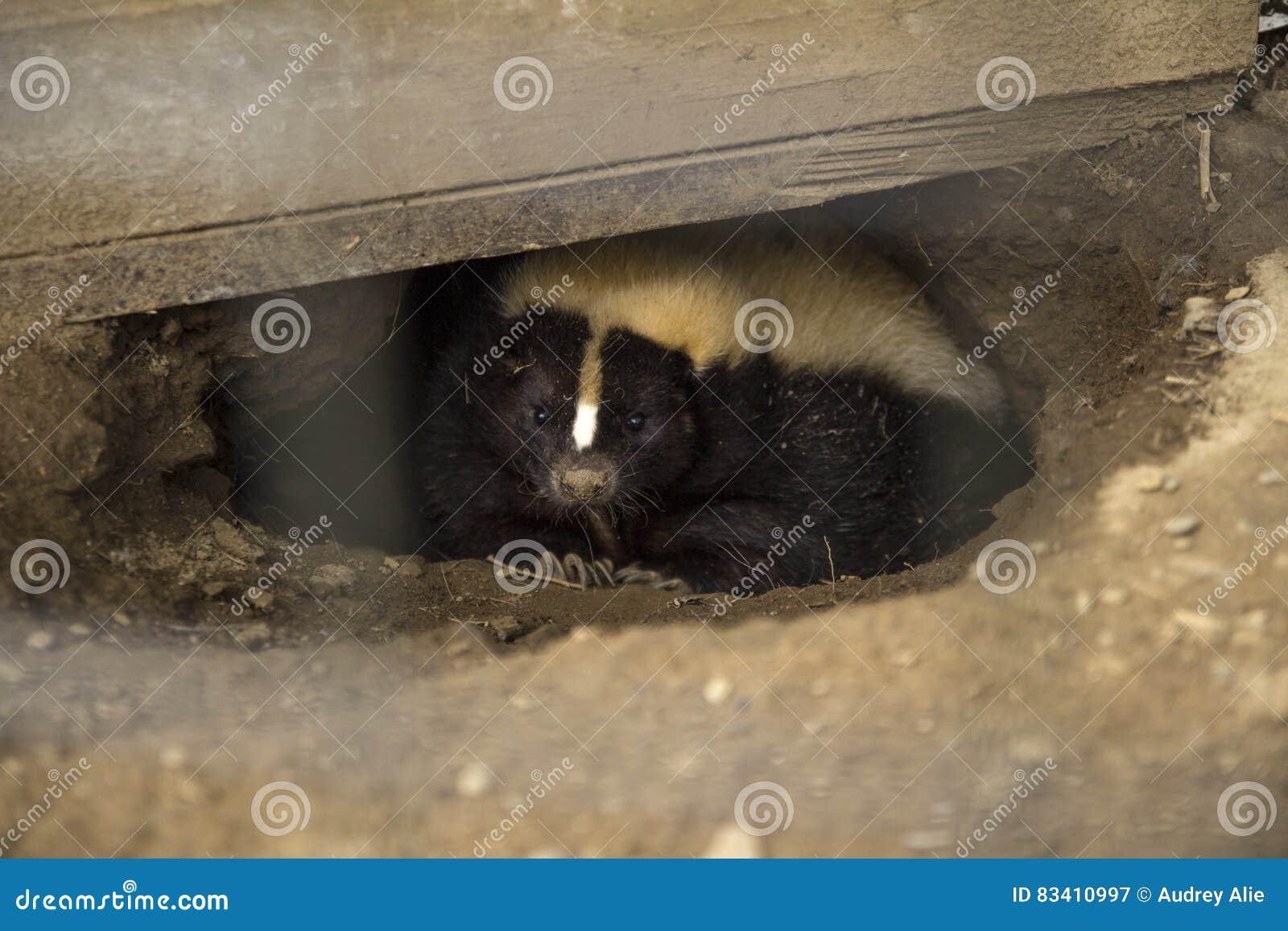 Hidden Skunk