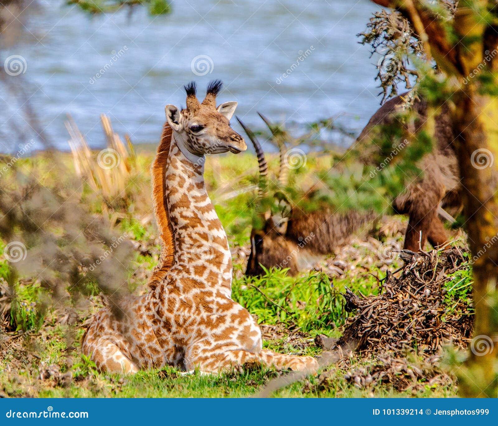 HIding amongst the bushes - Baby Massai Giraffe