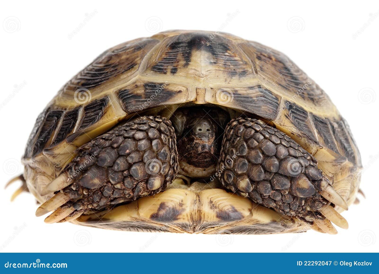 Hiding tortoise