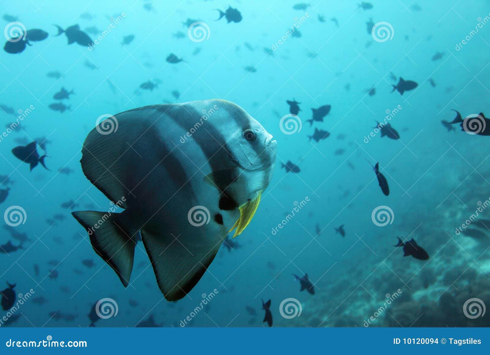 Download Hiebfische - Maldives stockfoto. Bild von chirurg, warm - 10120094