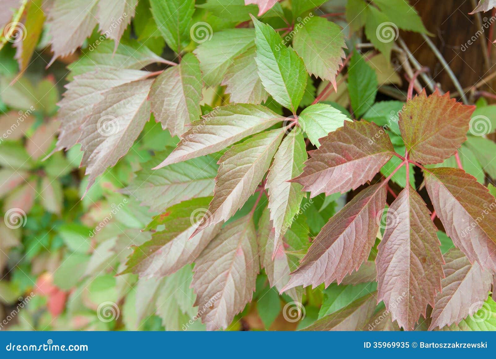 Hiedra en árbol en otoño
