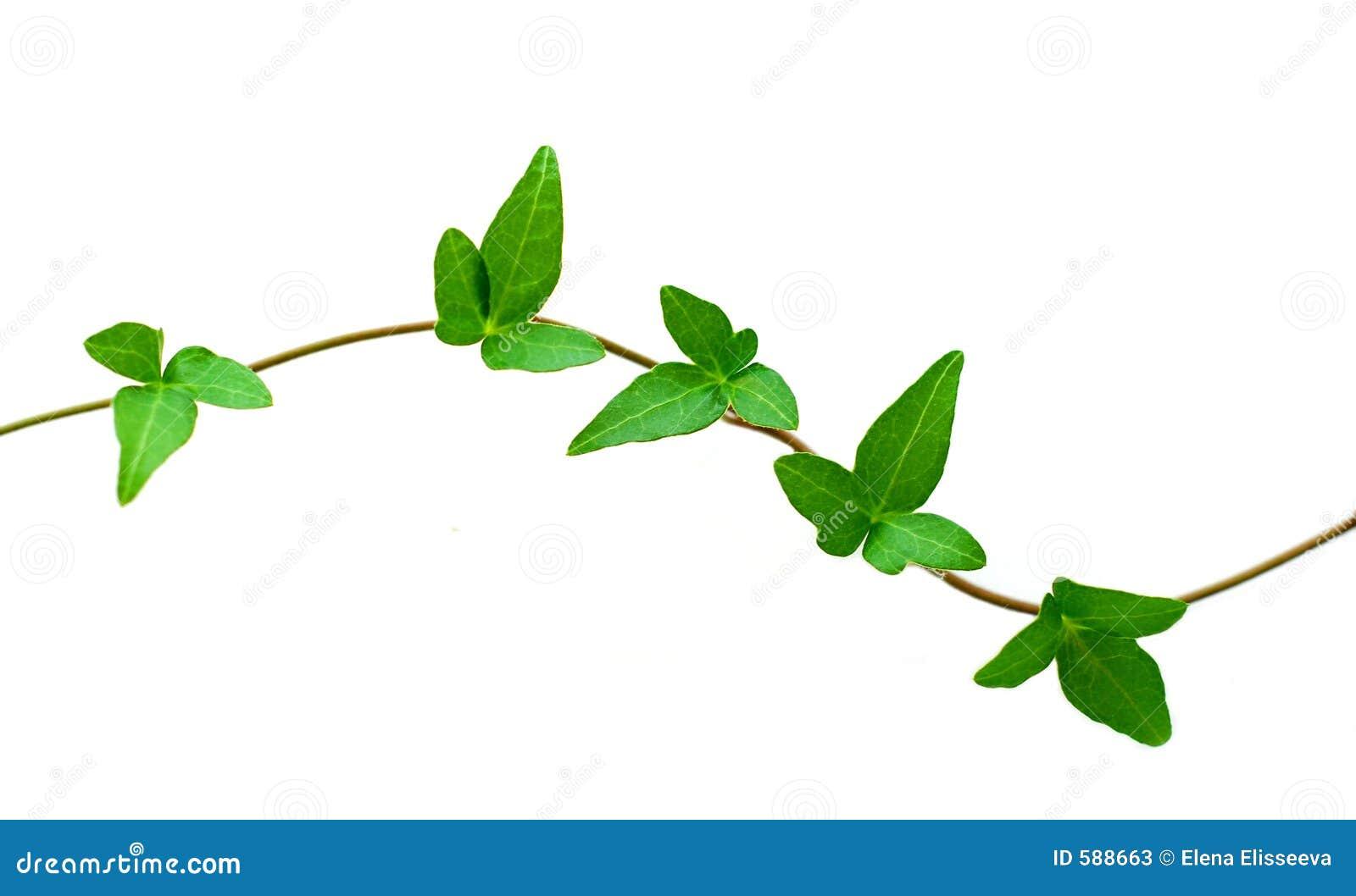 Hiedra verde en blanco