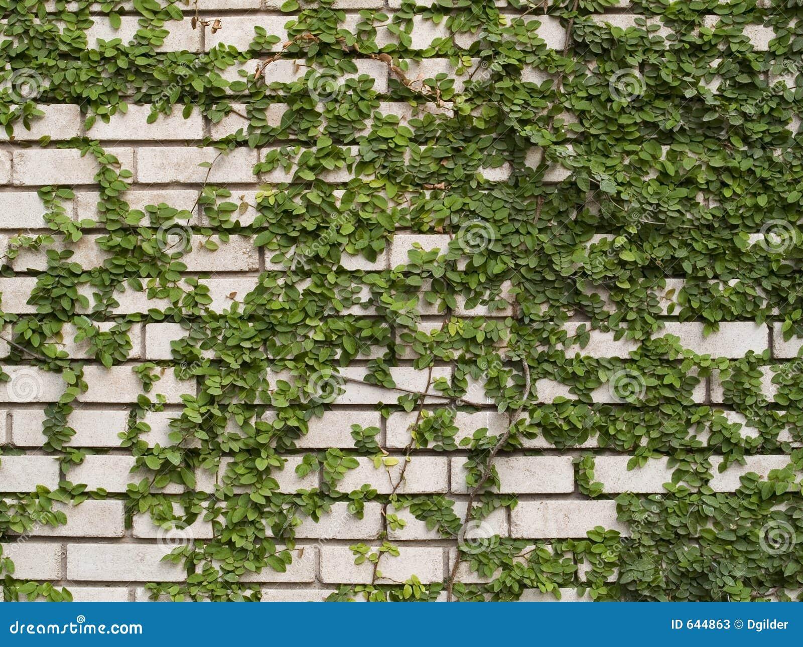 Hiedra verde en la pared fotos de archivo imagen 644863 - Paredes en verde ...