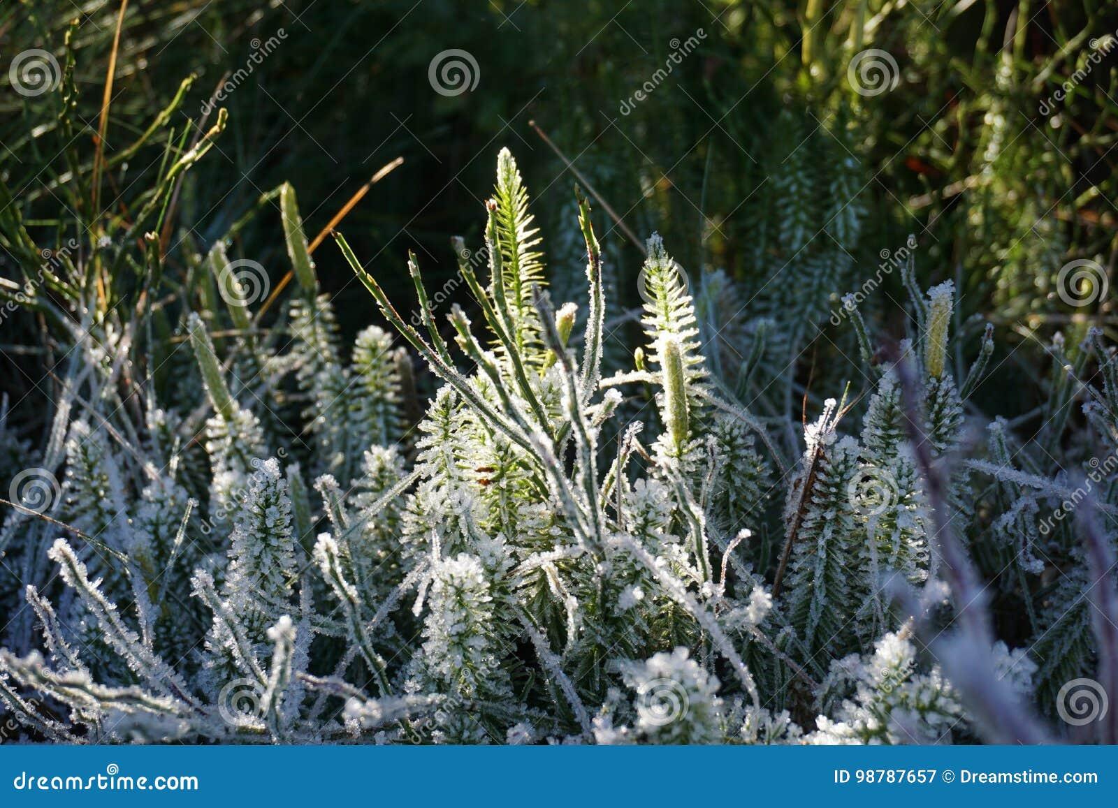 Hielo en las plantas