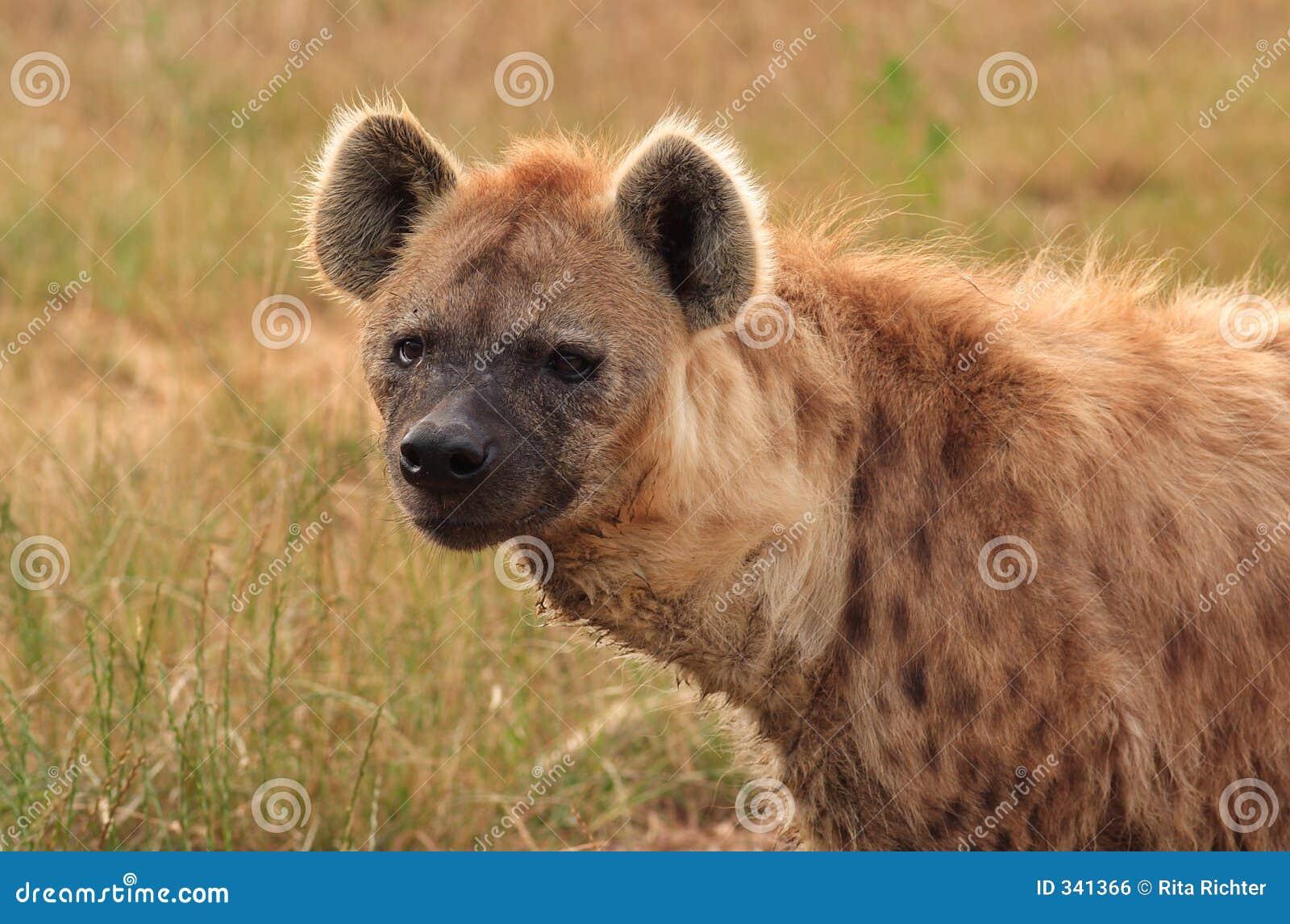 Hiena 2 dostrzegająca