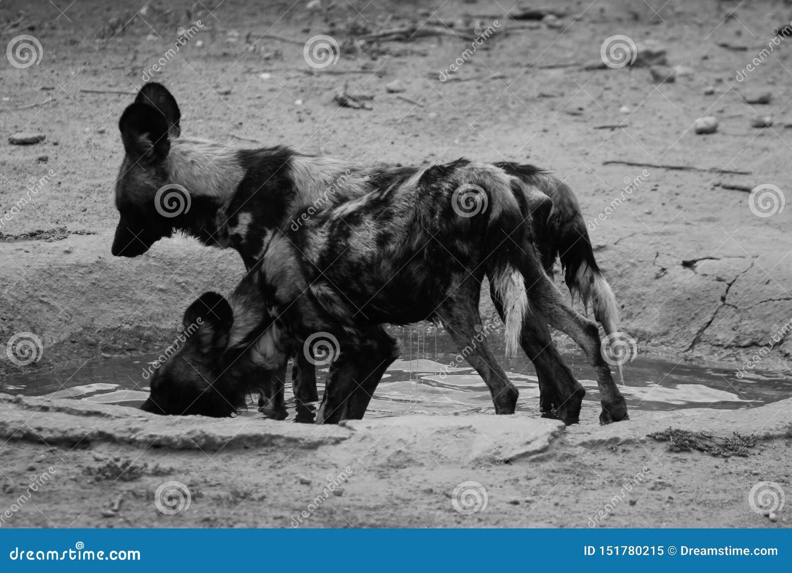 Hiena chwytająca w Namibia