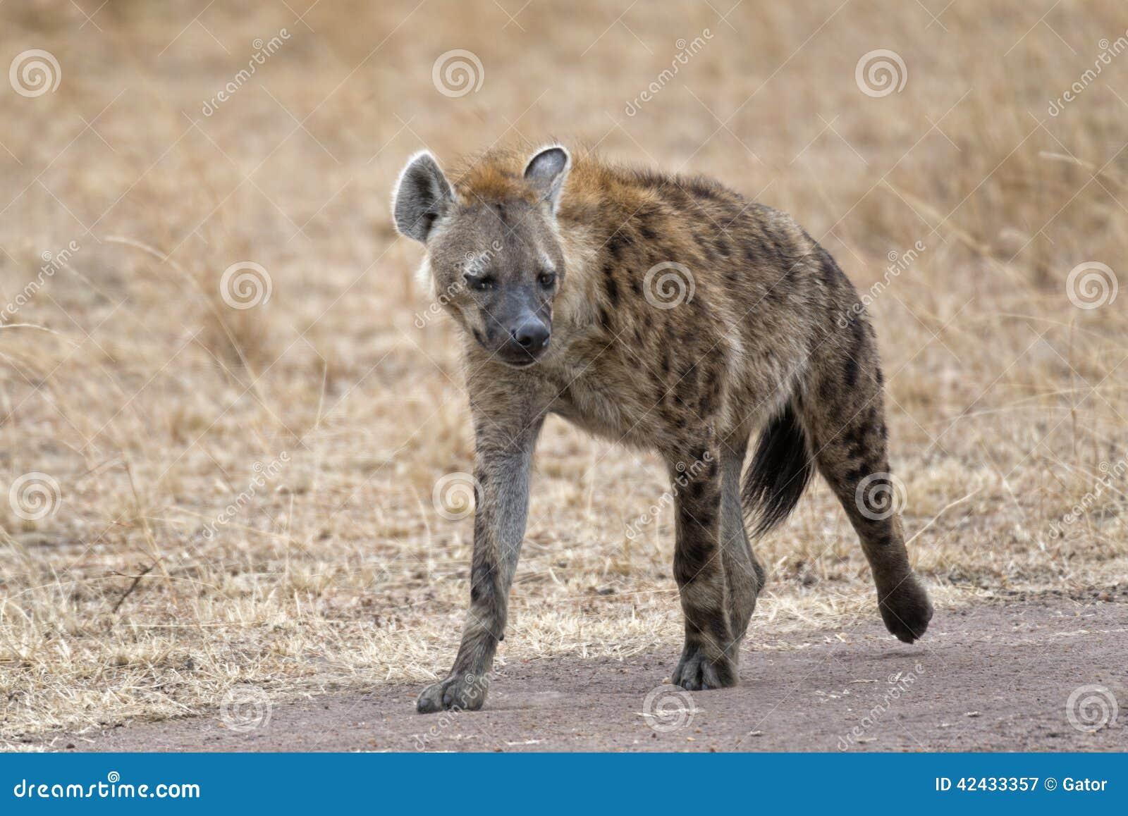 Hiena que camina a lo largo de la carretera nacional