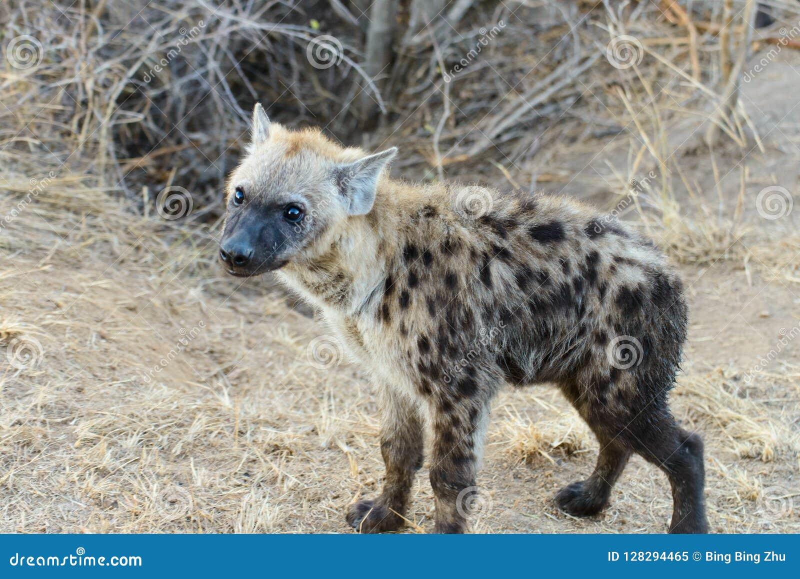 Hiena z jaskrawymi oczami