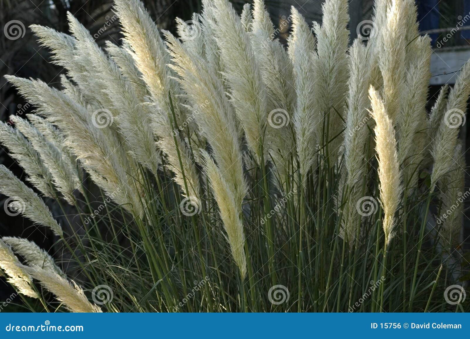 Hierba alta en la floración