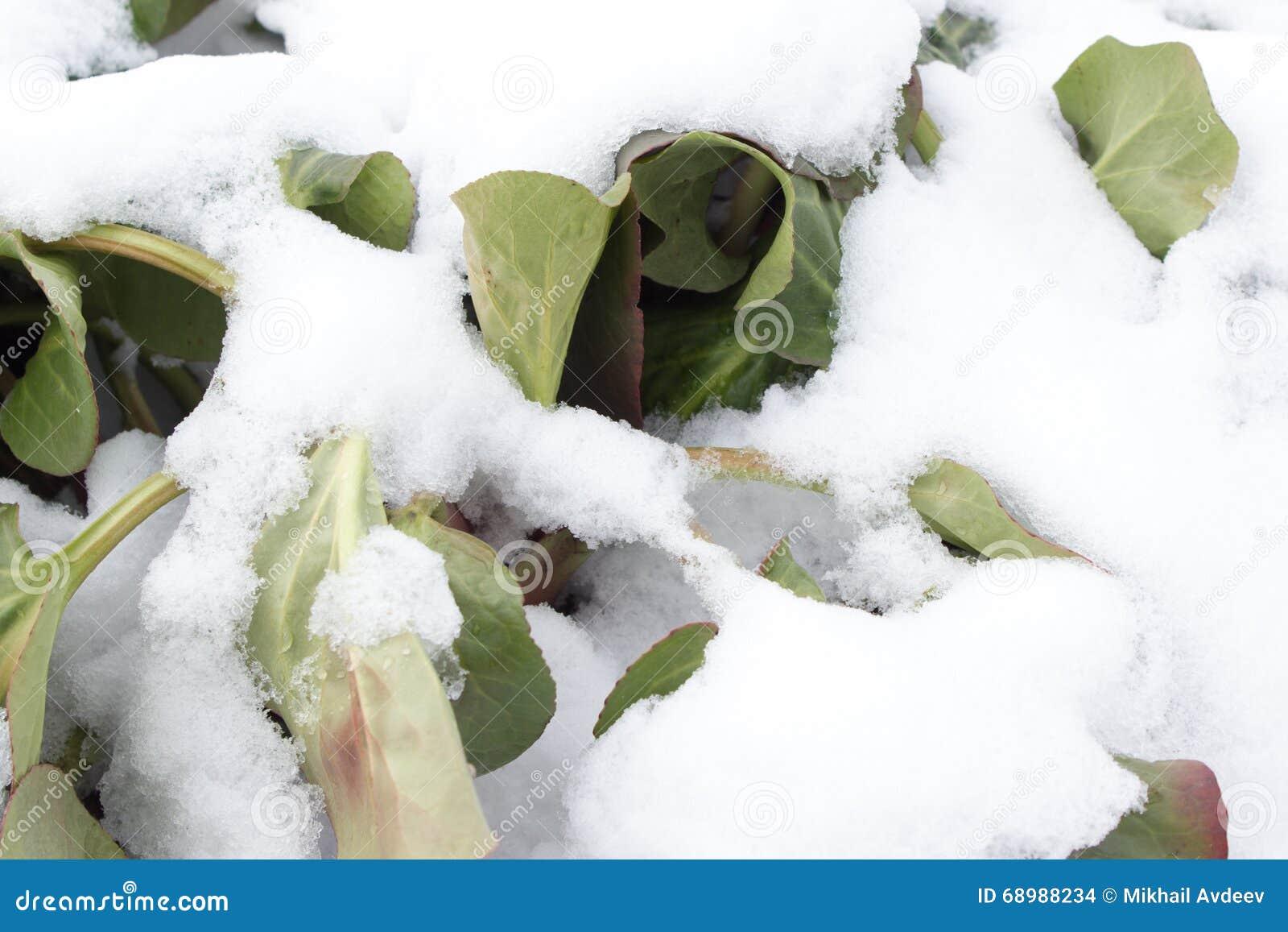 Hierba bajo la nieve