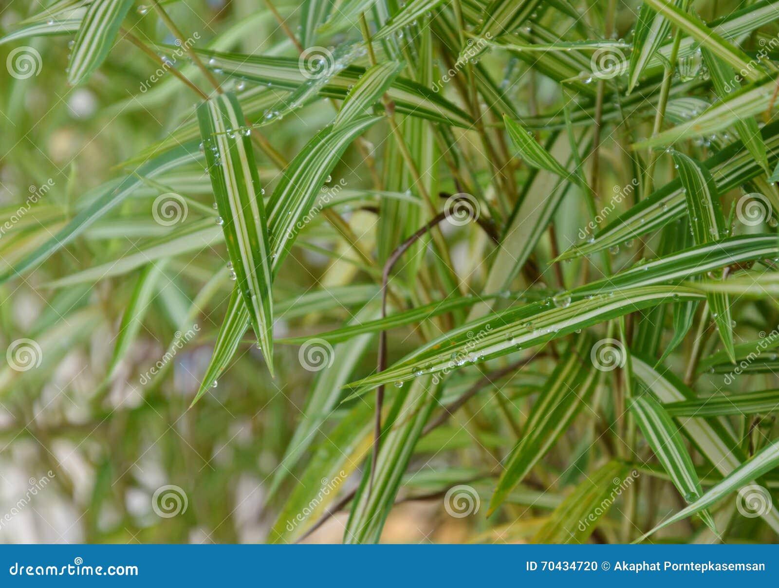 Hierba de bamb del seto para el animal dom stico de - Seto de bambu ...