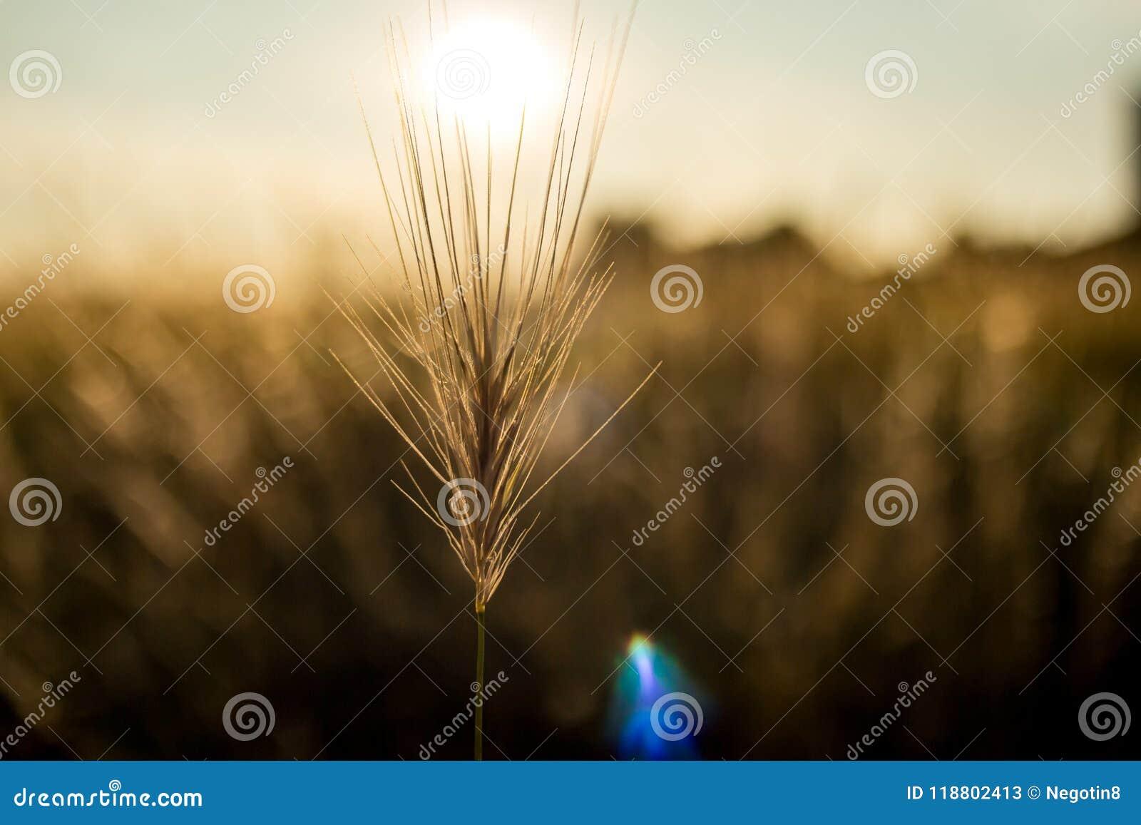 Hierba de oro de la hora y del heno