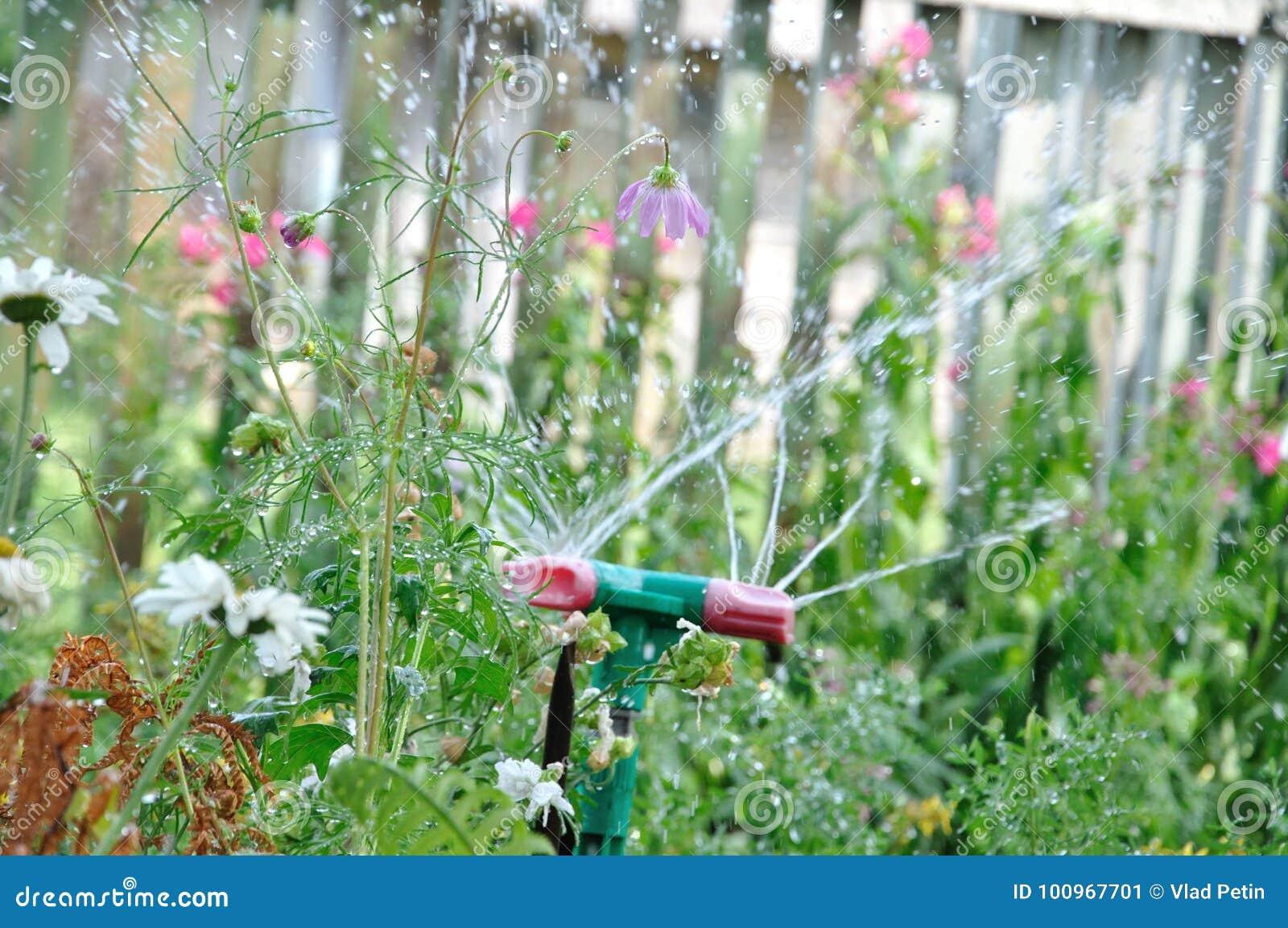 Hierba de riego de la regadera del jardín en el día soleado y las gotitas del agua