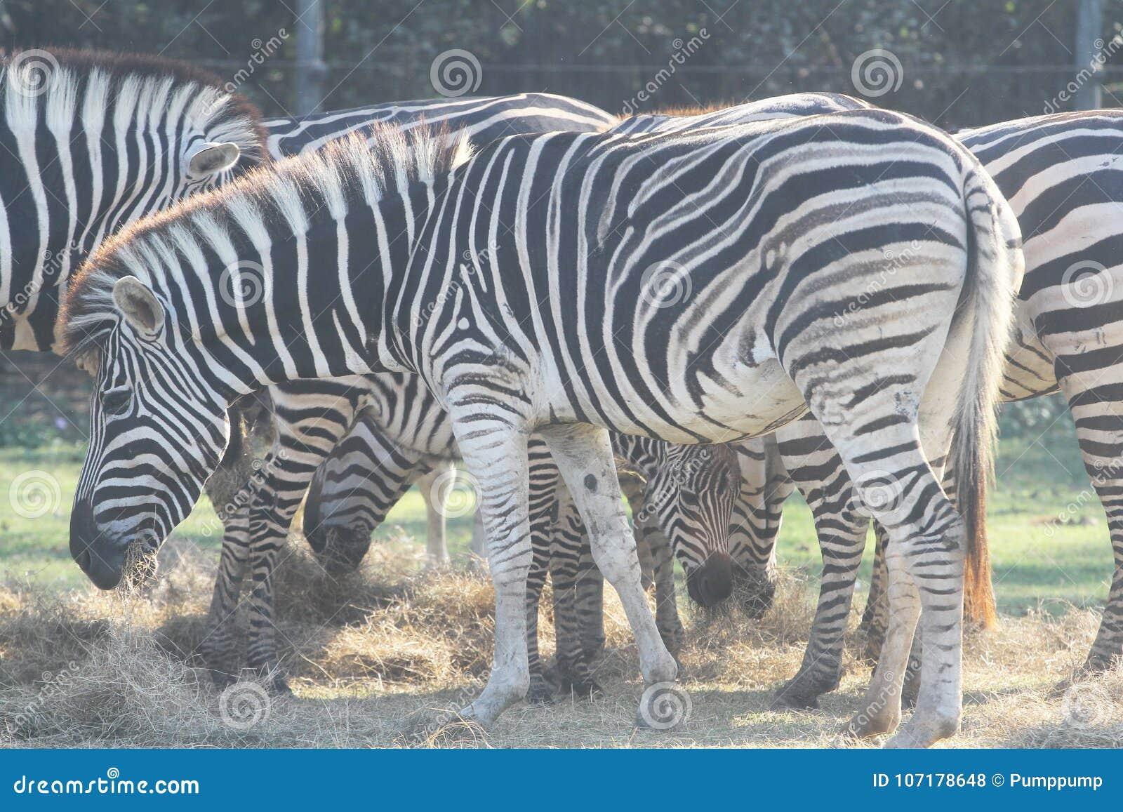 Hierba eatting de la cebra del grupo en safari