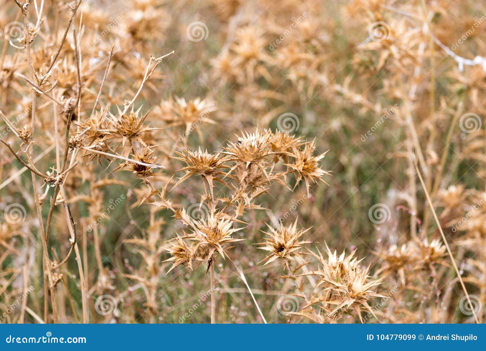 Hierba espinosa seca al aire libre