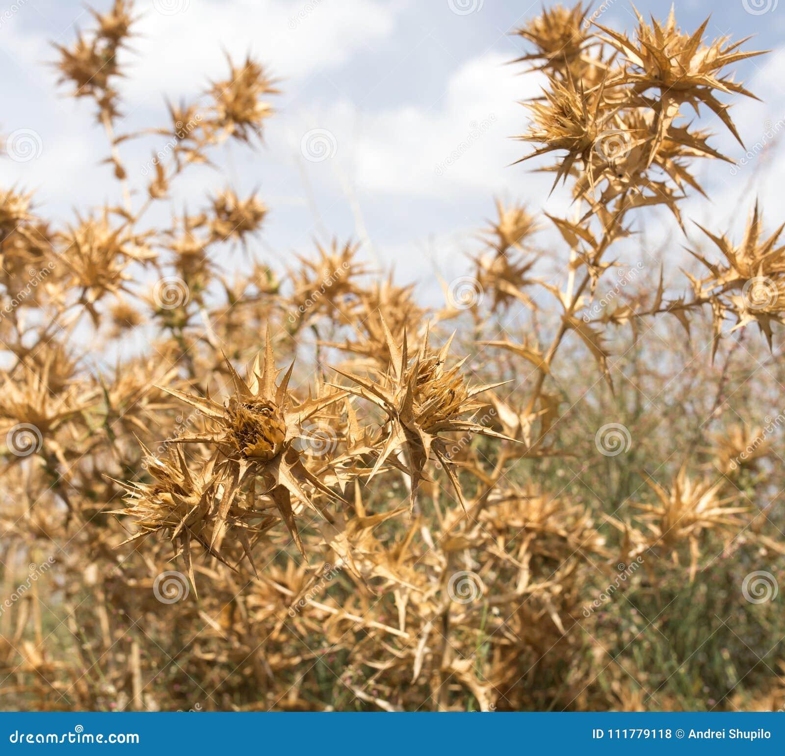 Hierba espinosa seca contra el cielo