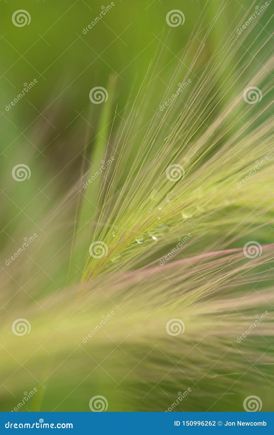 Hierba larga whispy verde que sopla en la brisa leve