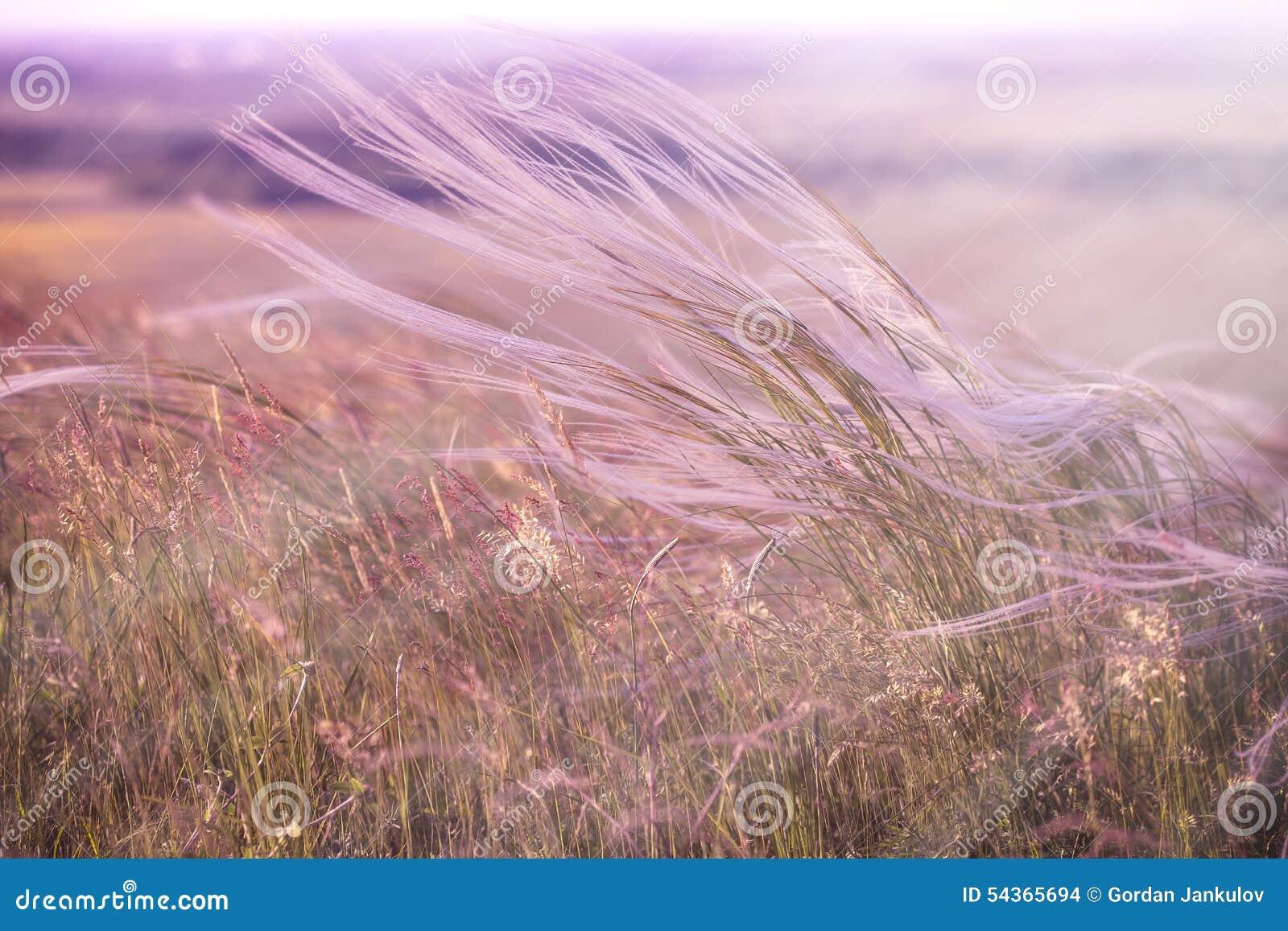 Hierba mullida - alta hierba de la suavidad